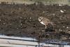 Common Ringed  Plover (steve happ) Tags: aswan charadriushiaticula commonringedplover egypt nileriver