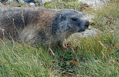 Austria '17 (faun070) Tags: austria kaiserfranzjosefhöhe grossglocknerstrasse mammal murmeltier alpinemarmot wildlife europe