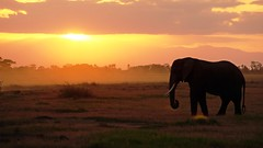 Sundown with elephant (tor-falke) Tags: africa afrika africalandscape afrique african afrikanwildlife sonnenuntergang sonne soleil coucherdusoleil sundown sunset sun kenia safari fotosafari photographie photograph photosafari elefant elephant éléphant wild wildlife amboseli nationalpark