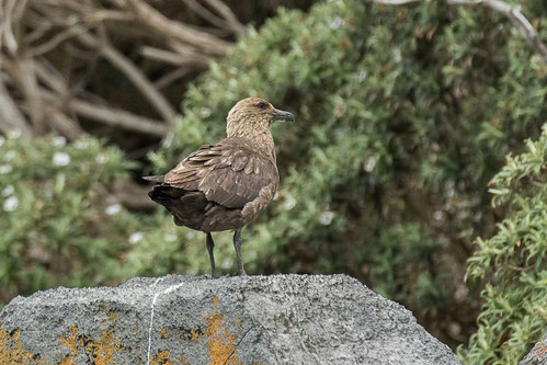 Brown ( Southern ) Skua - Stewart Island - New Zealand_FJ0A7474