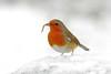 """ All I Want For Christmas Is A Meal (Worm)..."" (Kap'n'Kaos~Too) Tags: christmas merrychristmas yultide yuletiderobin erithacusrubecula robin mealworm explore robinredbreast"