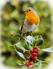 Christmas Robin (Dec Roche) Tags: christmas robin holly berries nikon nikon18105mm nikond7200 wexford repofireland southeastireland gardenbirds wildlife nature