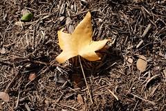 Fallen (Gene Ellison) Tags: leaf gold mulch fallcolor