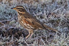 Redwing Amongst The Frost (queeny63) Tags: elements