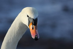 The eye has you. (Barry Miller _ Bazz) Tags: swan widnes halton cheshire victoria park canon 5d3 400mm f4l lens nature wildlife