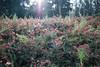 DSC_7528.jpg (Scameroon) Tags: andy goldsworthy andygoldsworthy sanfrancisco presidio spire wood line cypress