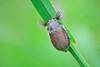 Melolontha cf. melolontha (jotneb) Tags: natureza animais insectos vidaselvagem arlivre macro coleoptera