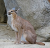 Posing Like A Statue (greekgal.esm) Tags: caracal cat feline animal mammal carnivore nisha livingdesertzoo livingdesert palmdesert sony rx10m3 rx10iii