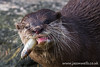 Asian small-clawed otter chewing (wellsie82) Tags: asiansmallclawedotter england animal bokeh chewing closeup eating feeding fish food landscapeformat merseyside naturalworld nature northwestengland oneanimal orientalsmallclawedotter otter outdoors smallclawedotter wet whiskers wildlife