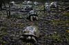 Pole Pole (Don César) Tags: zanzibar tanzania africa prisonisland turtles slow shell rain group tansania changuu aldabragianttortoise endangered animal stonetown unguja indianocean reptiles