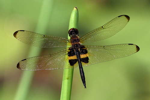 Yellow-striped Flutterer (Rhyothemis phyllis)