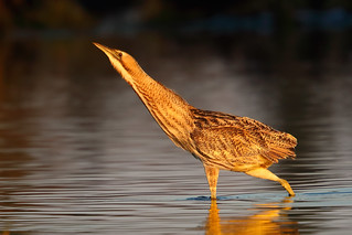 The golden bird b