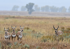Keeping the Ladies in Line is Hard Job! Pronghorn Buck With Part of His Harem - 1688b+ (teagden) Tags: pronghorn buck doe pronghornbuck pronghorndoe harem pronghornharem americanantelope antelope jenniferhall jenhall jenhallphotography jenhallwildlifephotography wildlifephotography wildlife photography wild nikon fall rut rain raining wyoming wyomingwildlife