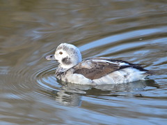 Long-tailed Duck (Neal D) Tags: bc abbotsford willbandcreekpark bird duck longtailedduck clangulahyemalis
