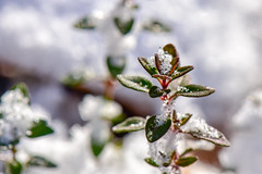 Winter Thyme (thatSandygirl) Tags: winter december cold garden outdoors nature plant leaves flora macro closeup snow ice frozen thyme herb foliage white green stem