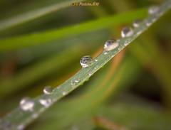 Hierba con gotas de rocío (PictureJem) Tags: agua gotas hierba rocío