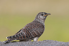 Cuculo Juv. (Ricky_71) Tags: common cuckoo cuculus canorus wild summer nikon
