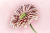 Pink (Leslie Victor) Tags: mg09562 daisy gerbera pink fineart botanical floral vignette