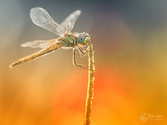 Sympetrum fonscolombii (Olympus Passion eric leroy) Tags: libéllule odonate sympetrum fonscolombii olympus omd em1 mkii zuiko 40150pro