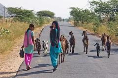 Pastoreando (Jhaví) Tags: rajasthan india incredibleindia asia road carretera cabras chicas colours viaje trip travel animal beautiful