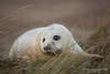 (jonathan_ed1984) Tags: sea seal sealpup greyseal atlanticgreyseal commonseal mammal british wildlife britishwildlife baby wildlifephotographer wildlifephotography jonathanwintlephotography donnanook lincolnshire 2017 winter canon
