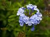 17 Plumbago m-1.jpg (lynnetteroberts1) Tags: environment flora plumbago