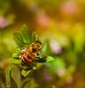 The Honey Bee (▓▒░Farrukh░▒▓) Tags: islamabad federalcapital pakistan