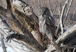 Chouette lapone /  Great Gray Owl  / Strix  nebulosa