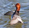Redhead showing-off (tresed47) Tags: 2017 201712dec 20171219marylandbirds birds cambridge canon7d content december ducks fall folder maryland peterscamera petersphotos places redhead season takenby us ngc