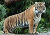 sumatran tiger Burgerszoo BB2A5875 (j.a.kok) Tags: tijger tiger sumatraansetijger sumatrantiger pantheratigrissumatrae animal kat cat mammal zoogdier dier asia azie sumatra burgerszoo