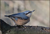 Nuthatch (image 3 of 3) (Full Moon Images) Tags: raspy sandy lodge thelodge wildlife nature reserve bedfordshire bird nuthatch