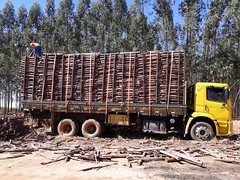 "GWD Forestry eucalyptus harvest Santa Maria I <a style=""margin-left:10px; font-size:0.8em;"" href=""http://www.flickr.com/photos/47172958@N02/38556148845/"" target=""_blank"">@flickr</a>"