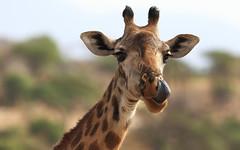 Mhmm, Christmas Dinner Was Delicious (AnyMotion) Tags: mondayface giraffe giraffacamelopardalis portrait porträt tongue zunge licking leckend 2015 anymotion tarangirenationalpark tanzania tansania africa afrika travel reisen animal animals tiere nature natur wildlife 7d2 canoneos7dmarkii portraitaufnahmen ngc npc