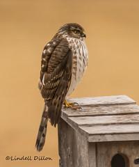 Terror in the back yard (Lindell Dillon) Tags: coopershawk accipitor raptor nature normanok wildoklahoma lindelldillon