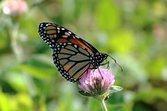 Monarch Butterfly 436 - Danaus Plexippus (Chrisser) Tags: insects insect butterflies butterfly monarch danausplexippus nature ontario canada canoneosrebelt6i canonef75300mmf456iiiusmlens nymphalidae
