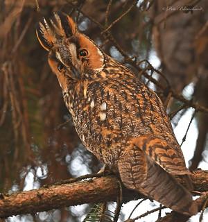 Long-eared Owl (explored)