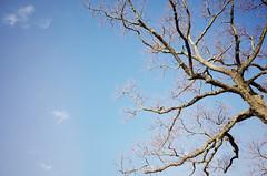 Soft blue sky, Nara (Eric Flexyourhead) Tags: nara narashi 奈良市 kansai 関西地方 japan 日本 narapark narakoen 奈良公園 tree branches winter barebranches sky clear blue bluesky blueskies ricohgr