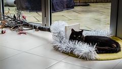 Taken Down (jonron239) Tags: cat pet toby xmas decorations tinsel rug tree