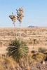 Yucca (Stuart Borrett) Tags: nature desert yucca christmas2017 chihuahuandesert grassland mountain sky landsape plant vegetation newmexico winter yellow flower bloom