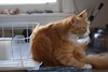 Jimmy setting up shop next to the dish drainer (rootcrop54) Tags: jimmy longhair longhaired orange ginger tabby male dish drainer kitchen counter neko macska kedi 猫 kočka kissa γάτα köttur kucing gatto 고양이 kaķis katė katt katze katzen kot кошка mačka gatos maček kitteh chat ネコ