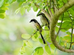 20171209-EM121535 (shutterblades) Tags: birds longtailedshrike olympusem1mkii olympusmzuiko300mmf4pro14tc seletaraerospacepark seletarwestlink