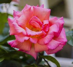 Flowers. (ost_jean) Tags: rose ostjean nikon d5200 tamron sp af 1750mm f28 xr di ii vc ld aspherical if b005n