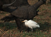 Encounter of species! (Jambo53 (!)) Tags: buffel koereiger nikond700 nikkor600mmf4 chobe botswana southernafrica zuidelijkafrika bubulcusibis cattleegret buffalo nature natuur wildlife inthewild grass gras vogel bird