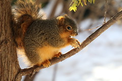 Squirrels in Ann Arbor on a Cold and Snowy Winter's Day at the University of Michigan (January 2, 2018) (cseeman) Tags: gobluesquirrels squirrels annarbor michigan animal campus universityofmichigan umsquirrels01022018 winter eating peanut januaryumsquirrel umsquirrel snowsquirrels snow snowy climber squirrelclimber