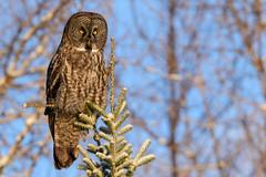 Great Gray Owl (jrlarson67) Tags: great gray grey owl sax zim bog nikon raptor bird tree perch portrait blue sky goldenhour sunrise wildlife nature d810 strix nebulosa chouette lapone