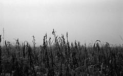 Sinapis alba (Rosenthal Photography) Tags: dezember nebel herbst bnw schwarzweiss anderlingen natur asa400 20171202 ff135 städte feld ilfordhp5 bw olympus35rd analog rodinal150 dörfer siedlungen field senf sinapis sinapisalba fog mist winter december landscape nature plant 35mm 40mm blackandwhite olympus olympus35 35rd zuiko fzuiko f17 ilford hp5 hp5plus rodinal epson v800