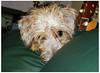 Poppy (Fishlady_UK) Tags: dog terrier puppy yorkie
