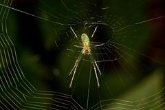 Colorful Spider (Darts5) Tags: orbweaver orbweavers spider spiders spiderweb arachnids 7d2 7dmarkll 7dmarkii 7d2canon ef100l closeup canon7d2 canon7dmarkll canon7dmarkii canon canonef100l macro macros upclose