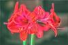 Amaryliis (L E Dye) Tags: colorefex 2017 alberta amaryllis canada d5100 ledye nikon