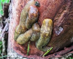 Spanish Slug  / Arion vulgaris (rogerk's Images) Tags: arion vulgaris spanish slug